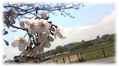cherry_blossom1
