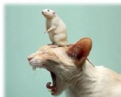 rat_on_cat