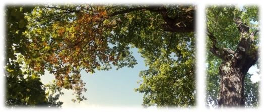 luthers_oak